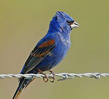 Blue Grosbeak by photosbyjoe