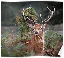 Red Deer Antler Adornment Poster