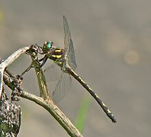 Arrowhead Spiketail Dragonfly - Cordulegaster obliqua by MotherNature
