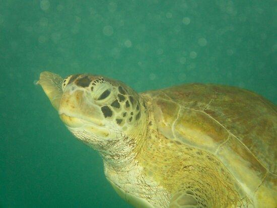 Turtle  by Nicole  Markmann Nelson