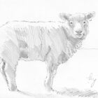 Sheep Pencil Drawing by MikeJory
