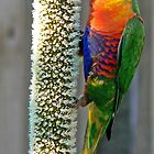 Rainbow Lorikeet enjoying GrassTree by Graeme  Hyde
