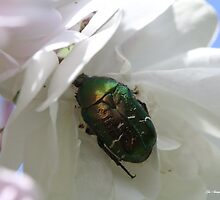 SCARAB BEETLE IN UK by Gea Austen