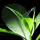 Damselfly by Veronica Schultz