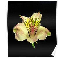 Yellow Peruvian Lily Portrait #2. Poster