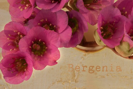 Bergenia Macro by Sandra Foster