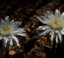 Queen of the Night Blooms  by Saija  Lehtonen