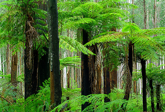 Black Spur Forest. by Bette Devine