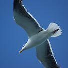 Herring Gull in Flight  by shane22