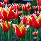 Tulips 3 by photonista