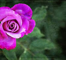 Magenta Rose by photecstasy