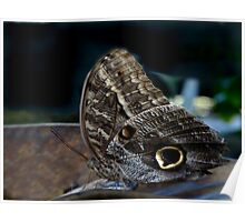 Owl Butterfly. Poster