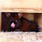 Close The Door!! I Don't Enjoy Sunlight.. Possum -NZ by AndreaEL