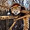 Red Panda by Kathy Weaver