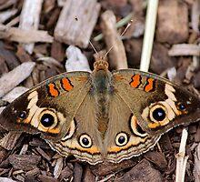 Buck-Eye Beauty by Rosanne Jordan