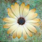 Cream Coloured Daisy by Chris Thaxter