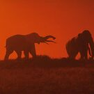 Elephant Sunset by Kuilz