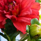 Dahlia Buds by ctheworld