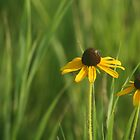Black-eyed Susan by Jean Martin