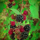 Vintage Blackberries by amicejane