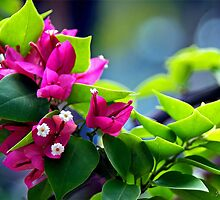 Bougainvillea by Maria A. Barnowl