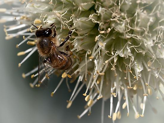 Bee on onion flower by Celeste Mookherjee