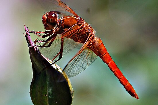 Dragonfly by saseoche