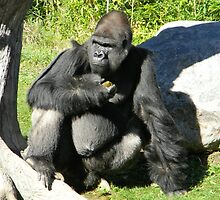 Low Land Silverback Gorilla by RK1313