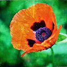 and they call it Poppy Love... by Astrid Ewing Photography