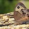 Texas Butterfly - Common Buckeye - Daily Homework - Day 50 - June 26, 2012 by aprilann