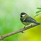 Great tit by Margaret S Sweeny