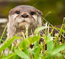 Asian small-clawed otter (Aonyx cinerea) by Steve  Liptrot