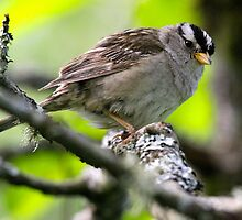 White Crowned Sparrow... by RichImage