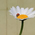 Parchment Daisy and Ladybug by Kerry McQuaid