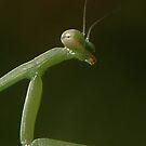 Praying Mantis by Angi Baker