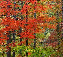 HARDWOOD FOREST, AUTUMN by Chuck Wickham