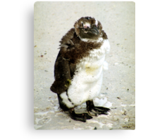 Baby South African Penguin Moulting Canvas Print