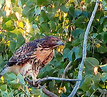 Juvenile Red Tail Hawk by trueblvr