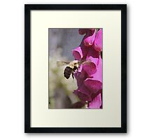 Mr Bumble And The Fox Glove Framed Print