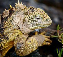 Land Iguana - Again! by James Girdler