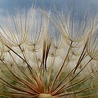 Tragopogon by Irina777