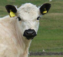 A beautiful rare breed calf by davidwatterson