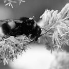 Bumble Bee by Mother Shipton