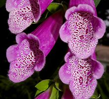hot pink foxglove by dedmanshootn