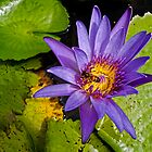 Waterlily with a visitor by globeboater