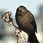 Brewer's Blackbird by Barrie Woodward