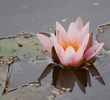 Pink Water Lily by Gill Langridge