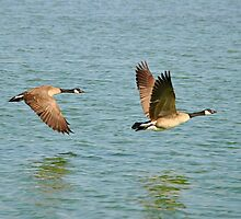 Canada Geese by Eleu Tabares