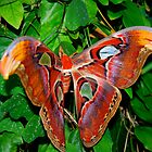 Atlas Butterfly by Nicole  Markmann Nelson