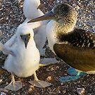 Blue footed booby chicks by Nick  Taylor